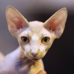 sphynx-cats-and-kittens-5